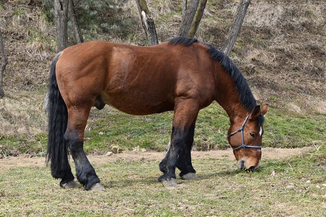 ばんえい競馬引退馬「ヤマト」