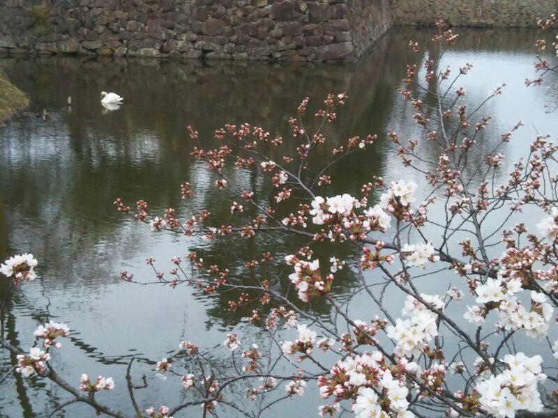 松本城お堀の桜開花状況(2018年4月2日)
