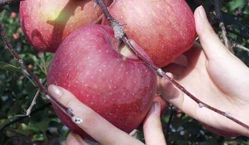 サンふじ専門店の特秀クラスのりんご